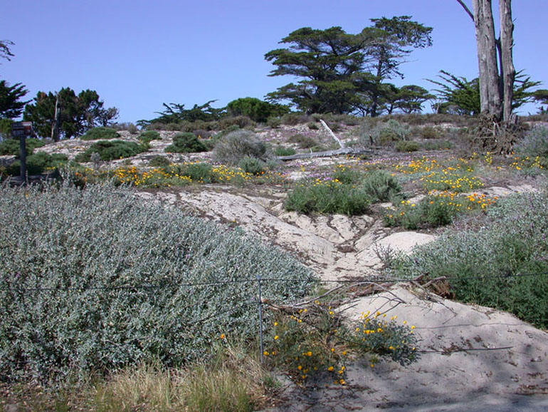 Native Northern California Plants (Coastal) - Monterey California